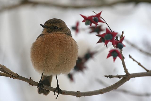 uccello a caset